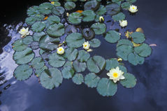 Close up of Lily pads, Huntington Gardens, Pasadena, CA Royalty Free Stock Photography