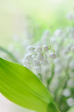 Close up lily of the valley Stock Photos