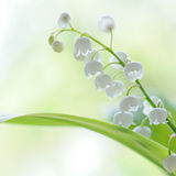 Close up lily of the valley Royalty Free Stock Images