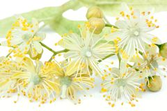 Close up of lime blossom Royalty Free Stock Image