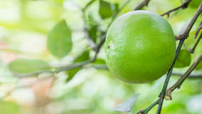 Close up lime in garden. Stock Photography