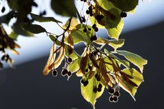 Close-up of lime leaves and fruits Royalty Free Stock Photos