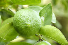 LIME. Close up of lime on the tree stock images