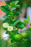 Close up Lime tree with fruits. In nature royalty free stock photo