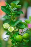 Close up Lime tree with fruits. In nature stock photo
