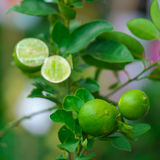 Close up Lime tree with fruits. In nature stock image