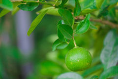 Close up Lime tree with fruits. In nature royalty free stock images