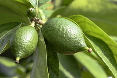 Close up of limes growing on a tree Stock Photo
