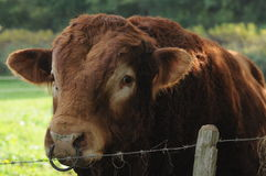 Close-Up Of Limousin bull. This is a very muscular and strong Limousin bull spotted in burgundy, France. I definitely would not like to stand in front of him Stock Photo