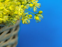 Close up linden flower in woven basket on a blue background Royalty Free Stock Image