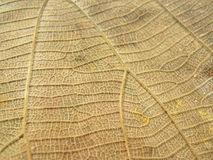 Close up of line detail on dry leaf texture background. Close up of line detail on dry leaf brownish gold color texture background Stock Photos