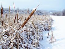 Close-up on a line of fuzzy cattails coated with icy snowflakes Stock Photos