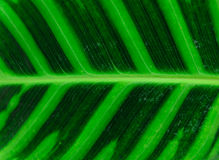 Close-up of line and texture of green leaf - background Stock Images