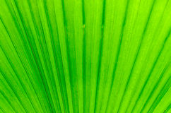 Close-up of line and texture of green palm leaf - background Royalty Free Stock Images