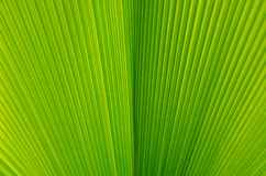 Close-up of line and texture of green palm leaf - background Stock Images