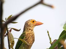 Close-up Of A Lineated Barbet. A Lineated Barbet, Megalaima Lineata, resting on a Mango tree branch Stock Photo