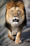 Close-up lion Royalty Free Stock Photo