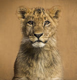 Close-up of a Lion cub in front of a vintage background Stock Images