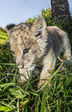 Close up of a lion cub Stock Photos