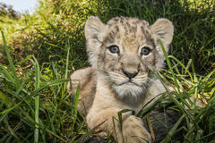 Close up of a lion cub. Royalty Free Stock Images