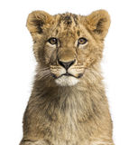 Close-up of a Lion cub looking at the camera Stock Image