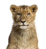 Close-up of a Lion cub looking at the camera Stock Photography