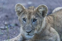 Close up of Lion cub, sitting alone, with big bright eyes stock photo