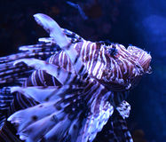 Close up Lion fish Stock Photos