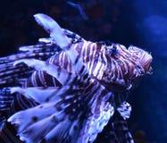 Close up Lion fish Stock Photos