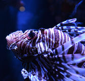 Close up Lion fish Royalty Free Stock Photo