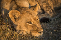 Close-up of lion head in golden light Royalty Free Stock Image