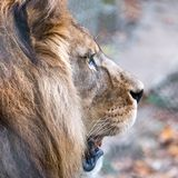 Close up of lion head with mane. Photographed at Port Lympne Safari Park near Ashford Kent UK. royalty free stock photo