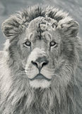 Close up lion head Royalty Free Stock Image