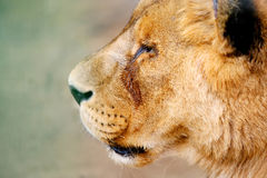 Close up of lion head Stock Images