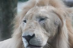 Close up lion head at khao kheow open zoo chonburi province tha stock images