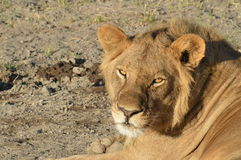 Close up of lion laying down Stock Photos