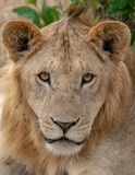 Close up of lion on the Masai Mara, Kenya Africa royalty free stock image