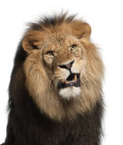Close-up of lion, Panthera leo, 8 years old Stock Image