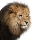 Close-up of lion, Panthera leo, 8 years old Royalty Free Stock Photography
