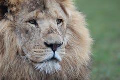 Close up Lion portrait Stock Photography