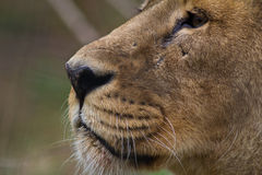 Close up of a lion's face. The Close up of a lion's face Stock Photos