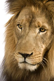 Close-up on a Lion's head (4 and a half years) - P Royalty Free Stock Images