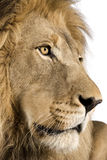 Close-up on a Lion's head (4 and a half years) - P Royalty Free Stock Image