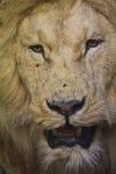 Lion headshot royalty free stock image