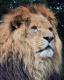 Close up of a lions head Royalty Free Stock Photography