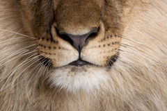 Close-up of lion's nose and whiskers. Panthera leo, 9 months old royalty free stock image