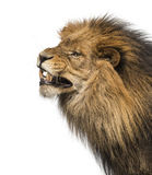 Close-up of a Lion's profile, roaring, Panthera Leo. 10 years old, isolated on white Stock Photo