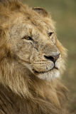 Close-up of Lion, Serengeti National Park Stock Image