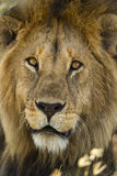 Close-up of a Lion, Serengeti, Tanzania Stock Images
