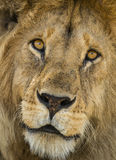 Close-up of a Lion, Serengeti, Tanzania Stock Photo